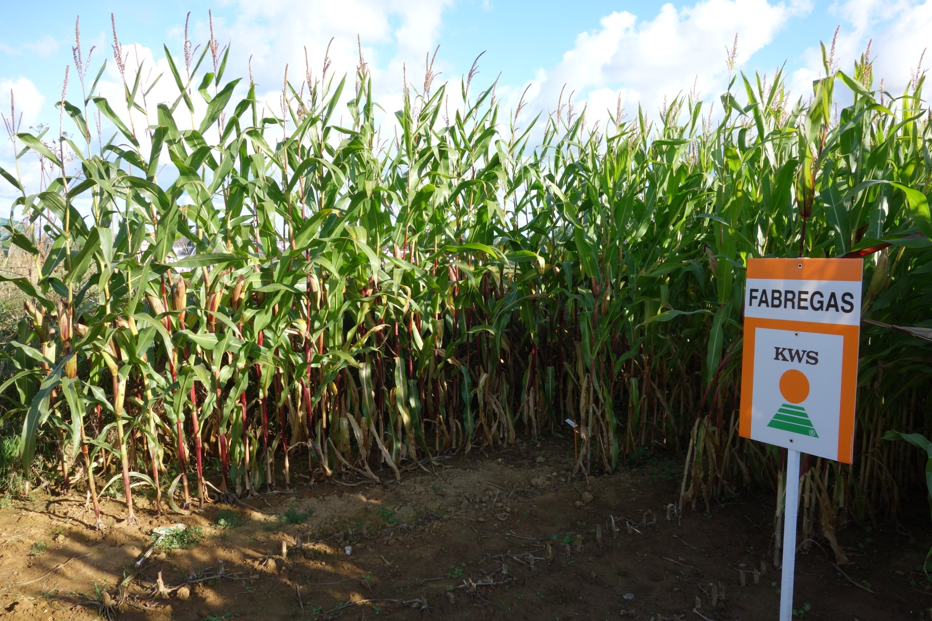 Normandy Corn