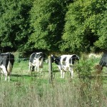 More dairy cows in Normandy