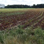 Normandy fields - winter crop emerging
