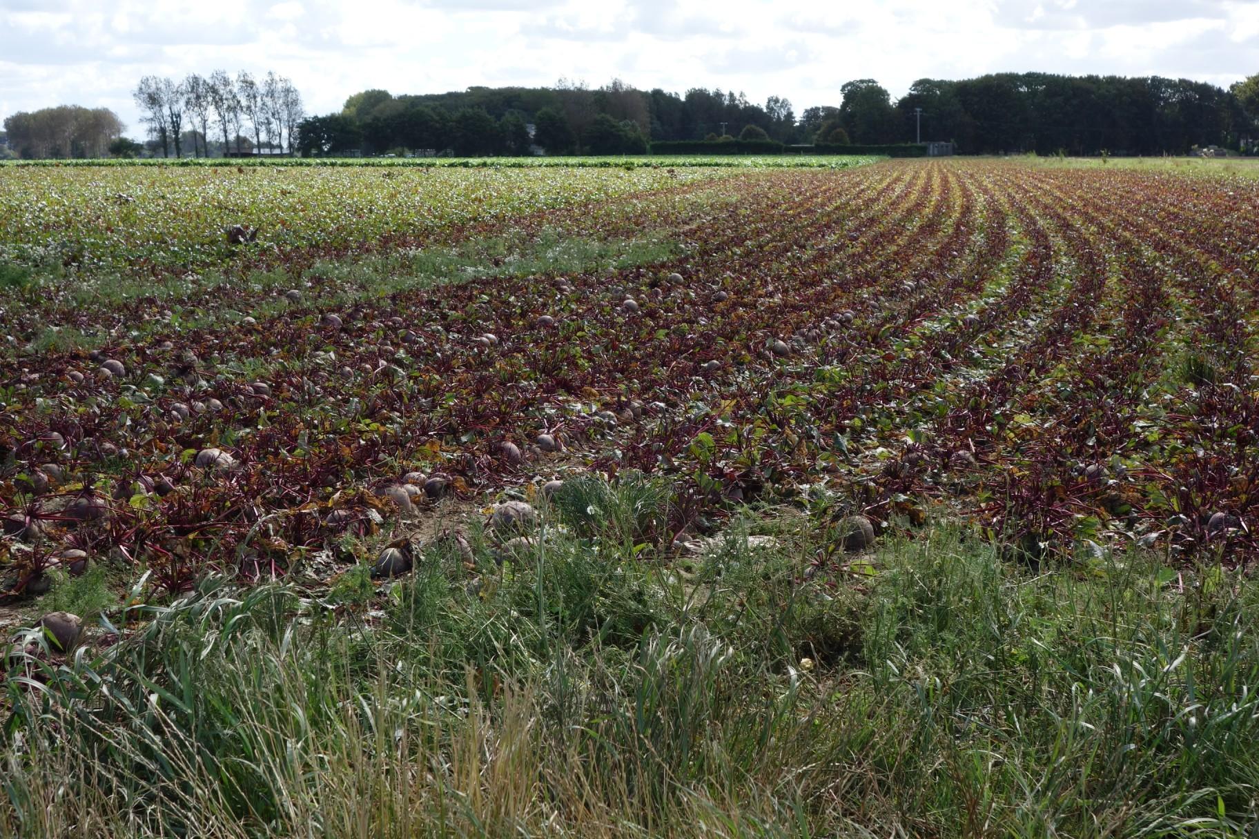Normandy fields - winter crop emerging