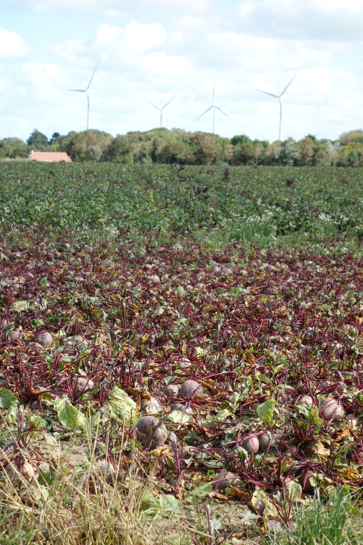 Beetroot in Normandy